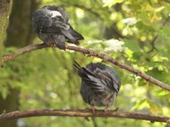 Ukrainian nature, clean pigeon Stock Footage