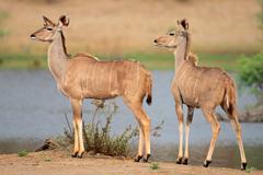 Two female kudu antelopes Stock Photos