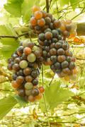 Ripening grape clusters on the vine Stock Photos