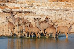 Kudu antelopes drinking - stock photo