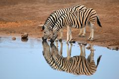 Plains zebras drinking water - stock photo