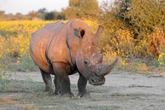 White rhinoceros in natural habitat Stock Photos