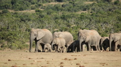 African elephant herd, African safari, Addo Elephant National Park, South Africa Stock Footage