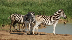 Plains zebras gathering at a waterhole to drink, South Africa Stock Footage