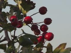 Ukrainian nature, wild hawthorn branch Stock Footage