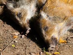 Young wild boar Stock Photos