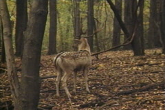 Male Deer with Antlers Walks in the Forest Stock Footage