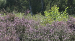 Purple heather waving in the wind. Stock Footage