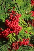 rowan berries ripening on tree - stock photo