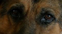German Shepherd Eyes Stock Footage