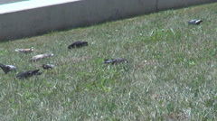 Summer time pigeons in green spaces, birds pecking grass, flock of pigeons down Stock Footage
