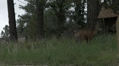 A mule deer pooping Stock Footage