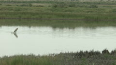 Buffalo fish jumps out of water 2 Stock Footage