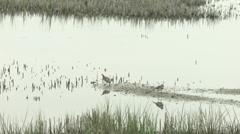 Two killdeer by water marsh Stock Footage
