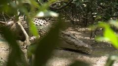 Saltwater Crocodile Australia Stock Footage