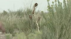 Man walking flings yucca seeds Stock Footage