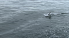 Dolphin, Pacific White-sided Dolphin, 4K, UHD Stock Footage