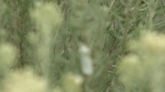 Salt marsh moth on branch Stock Footage