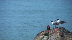 Close up laughing gulls rock caribbean 1 Stock Footage