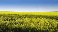footage of canola field or rapeseed field under blue sky - stock footage