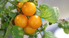 Yellow cherry tomato in hothouse Stock Footage