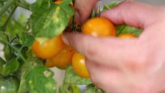 Collecting yellow cherry tomato Stock Footage