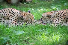 Two cheetahs fighting with piece of meat acinonyx jubatus Stock Photos
