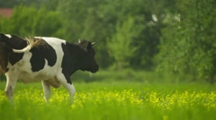 Cow goes through a meadow Stock Footage
