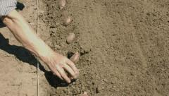 The old hand method of planting seed of potatoes Stock Footage