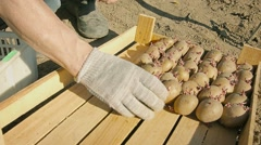 Seed of potatoes carefully placed in a box Stock Footage
