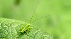The larva of grasshopper, close up Stock Footage