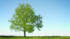 Lonely big tree in a field on sky background Stock Footage