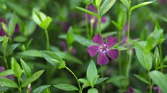Vinca minor (lesser periwinkle or dwarf periwinkle) on flower bed close-up Stock Footage