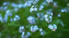 Blue forget-me flowers close up. shallow depth of field Stock Footage