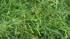 Green hay close up Stock Footage