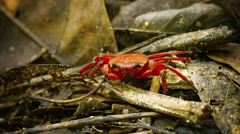 Semiterrestrial frugivorous waterfall crab (phricothelphusa limula) in forest Stock Footage