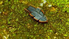 Duliticola (trilobite beetle). female moves on the ground. thailand, phuket. Stock Footage