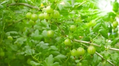 green gooseberries on the bushes - stock footage