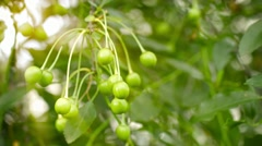 Unripe cherries on the branches of a tree in the garden Stock Footage