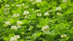 Trifolium repens (white clover or dutch clover) close up Stock Footage