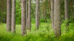 Pine forest. static composition Stock Footage