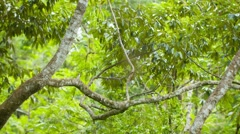 largest spider nephila in its web. large female and tiny male - stock footage
