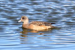 american wigeon (anas americana) - stock photo