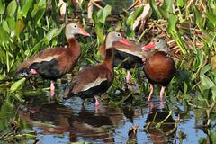 black-bellied whistling-ducks - stock photo