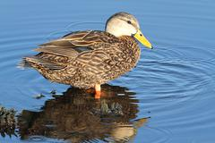 male mottled duck in the florida everglades - stock photo