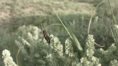 Sawyer beetle crawling on grass Stock Footage