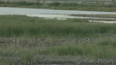 Black-necked stilts in a marsh Stock Footage