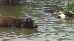 Different colors cows in lake water, animals in natural habitat, river crossing Stock Footage