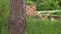 Peasant worker man chop wood nead woodshed full of firewood Stock Footage