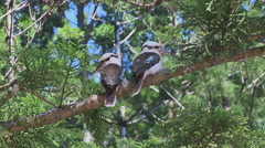 Kookaburra in tree on Fraser Island Stock Footage